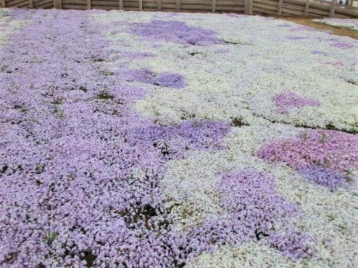 芝桜3.jpg