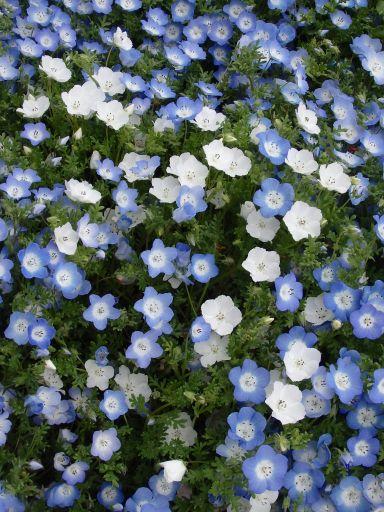 芝桜6.jpg
